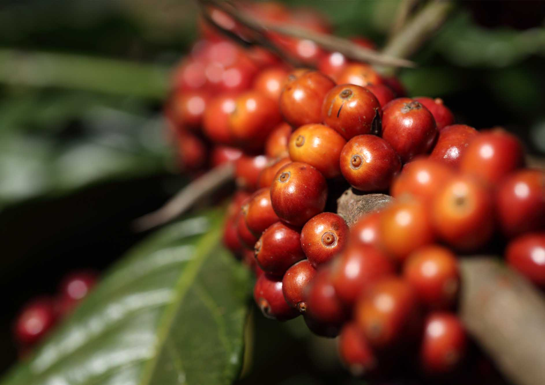 coffee-beans-on-coffee-tree-in-coorg